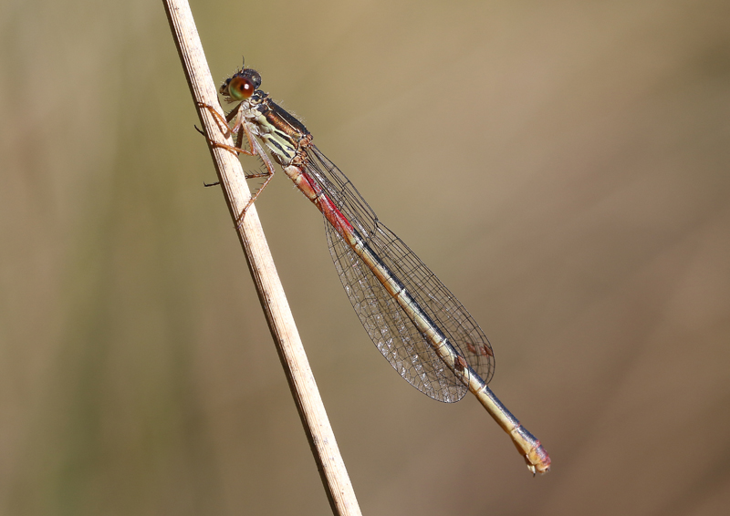 Ceriagrion tenellum female GDK 295A1851